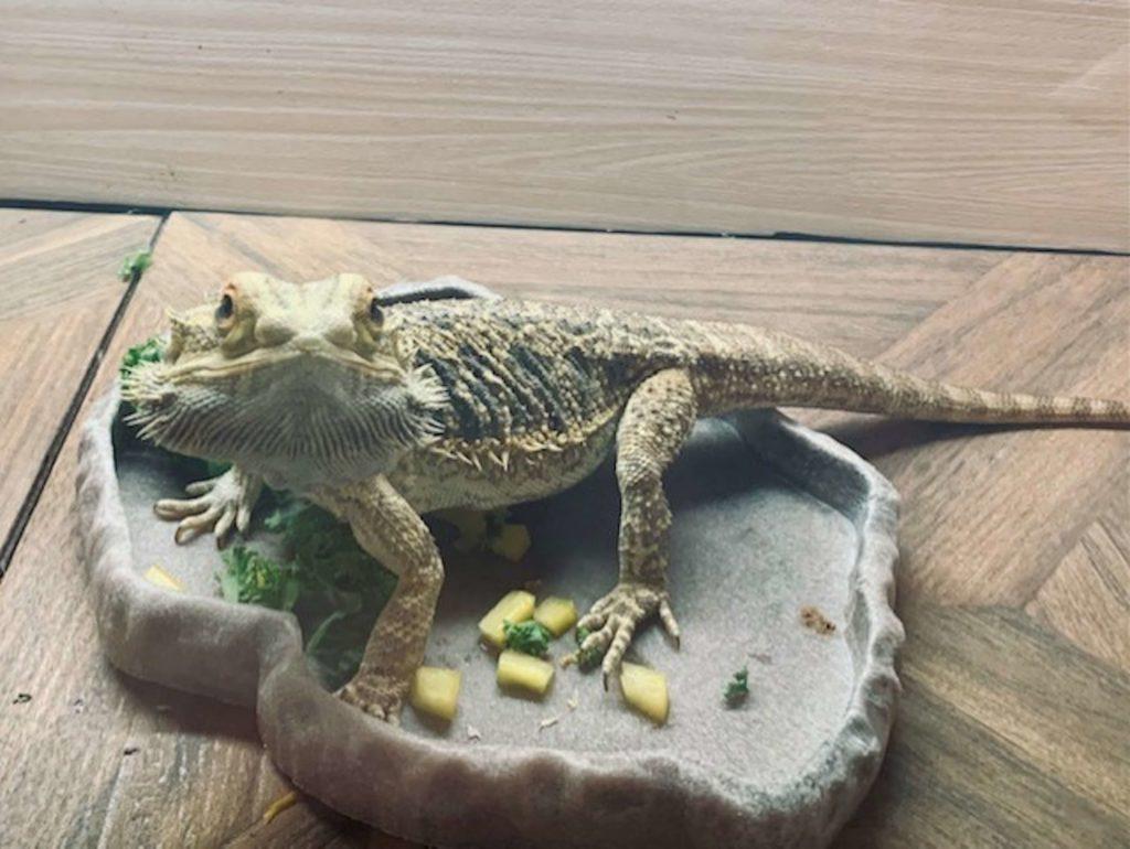 Bearded Dragon Pet